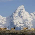 Elk in front of the Grand Teton, in Jackson Hole, Wyoming.