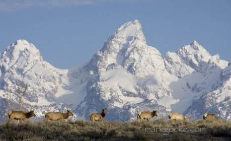 Elk in front of the Grand Teton, in Wyoming.