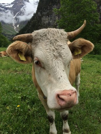 These cows with bells are everywhere, and you can hear their jangling bells as you hike.