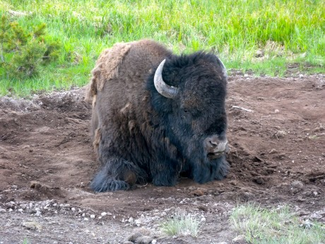 A one-ton bison takes a rest.